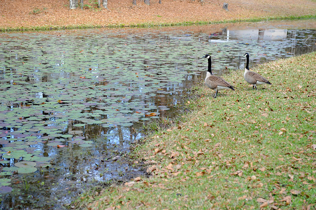 The BayPointe pond covered in lily pads is home to canadian geese, ducks, turtles , frogs and more.
